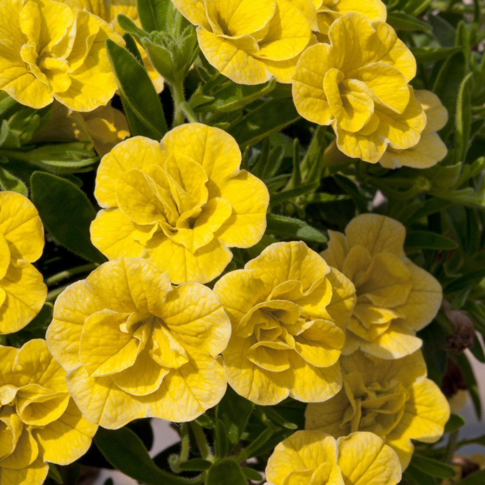 Kindergarden Calibrachoa Can Can Double Dark Yellow Bedding Plug Plant