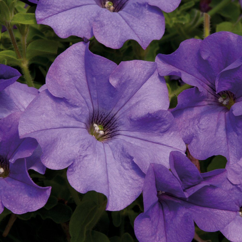 Kindergarden Petunia Surfinia Heavenly Blue Bedding Plug Plant