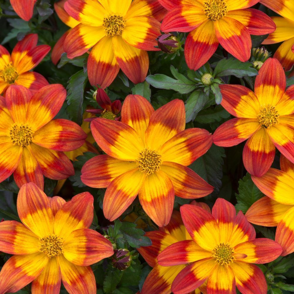 Kindergarden Bidens Blazing Fire Bedding Plug Plant