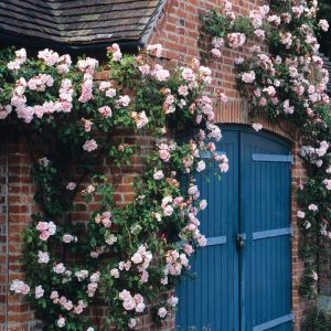 David Austin Albertine Light Pink Rambling Rose Plant