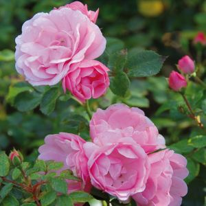 David Austin Bonica Mid Pink Shrub Rose Plant