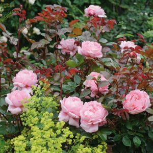David Austin Brother Cadfael Pink English Shrub Rose Plant