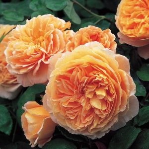 David Austin Crown Princess Margareta Apricot English Shrub Rose Plant