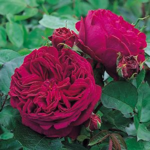 David Austin Falstaff Dark Crimson English Shrub Rose Plant