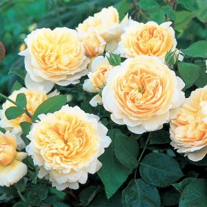 David Austin Crocus Creamy White English Shrub Rose Plant