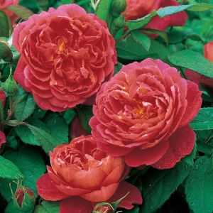 David Austin Benjamin Britten Deep Red-Pink English Shrub Rose Plant