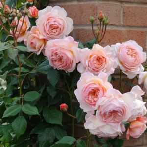 David Austin A Shropshire Lad Peach-Pink English Climbing Rose Plant