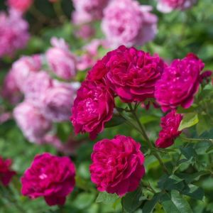 David Austin Darcey Bussell Crimson Pink English Shrub Rose Plant