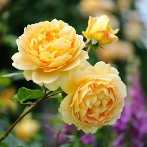 David Austin Golden Celebration Rich Yellow English Shrub Rose Plant