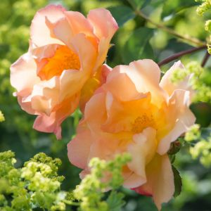 David Austin Fighting Temeraire Rich Apricot English Shrub Rose Plant