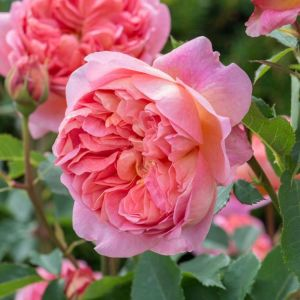 David Austin Boscobel Coral Pink English Shrub Rose Plant