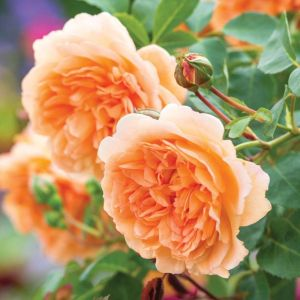 David Austin Dame Judi Dench Apricot Orange English Shrub Rose Plant