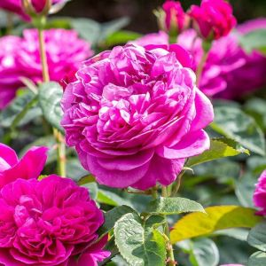 David Austin James L Austin Deep Pink English Shrub Rose Plant