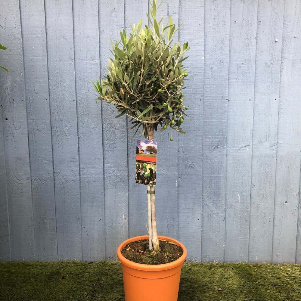 Olive Tree Standard 20cm Pot