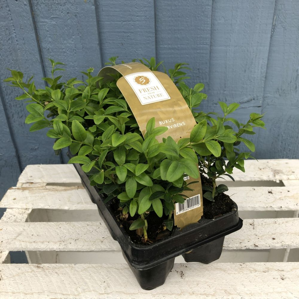 Buxus Six Pack