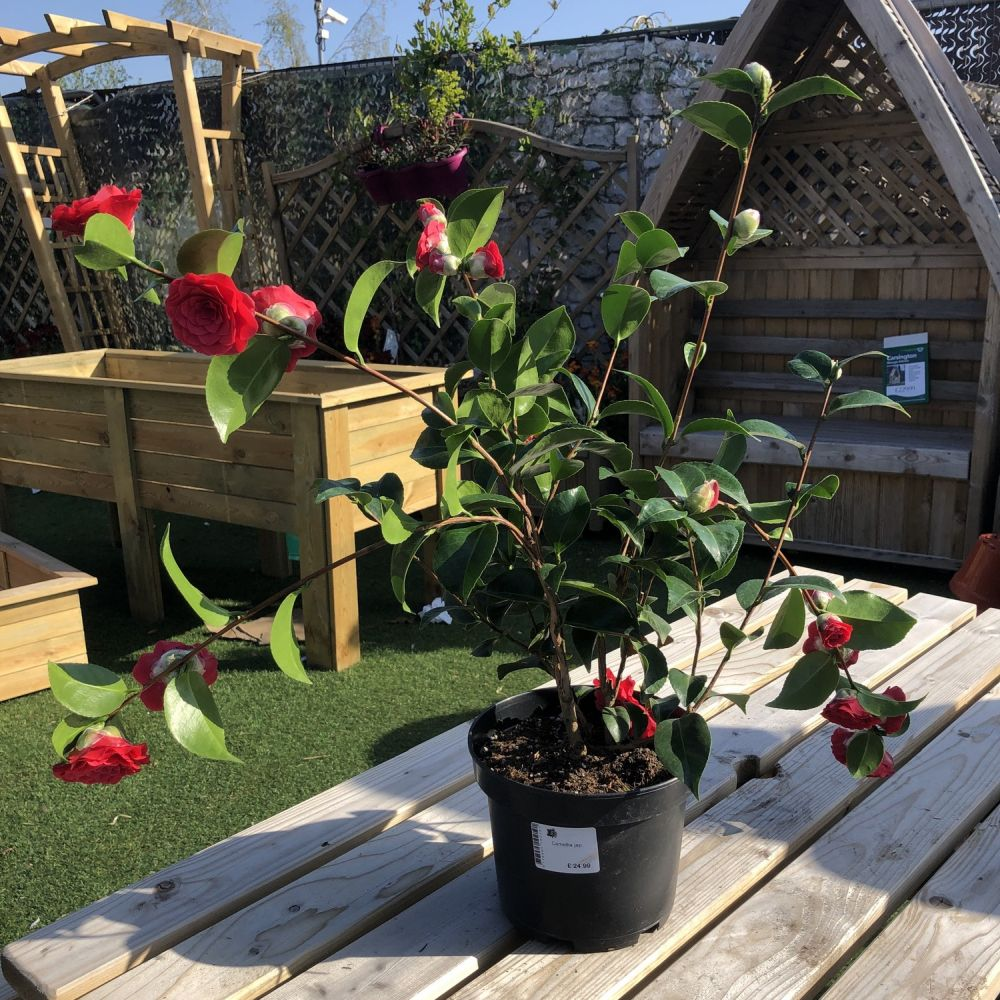 Camellia japonica Assorted - Click and Collect Only