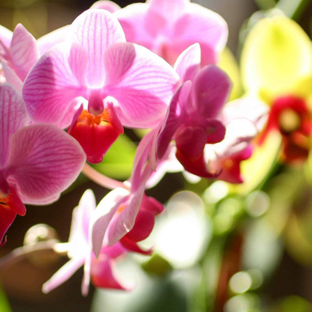 Phalaenopsis Orchid - Click and Collect Only