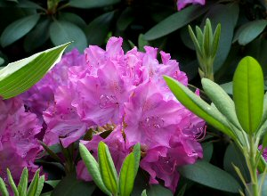 Rhododendrons, Azaleas and Camelias